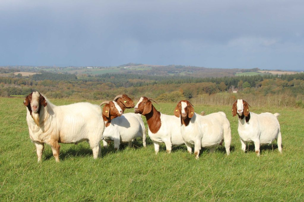 Boer-goats-on-hill-Oct-2014-a_edited-1
